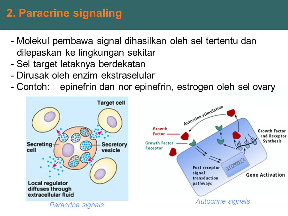 2. Paracrine signaling Paracrine signals Autocrine signals - Molekul pembawa signal dihasilkan oleh sel tertentu dan dilepaskan ke lingkungan sekitar
