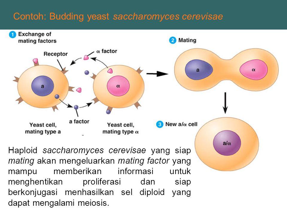 Haploid saccharomyces cerevisae yang siap mating akan mengeluarkan mating factor yang mampu memberikan informasi untuk menghentikan proliferasi dan si