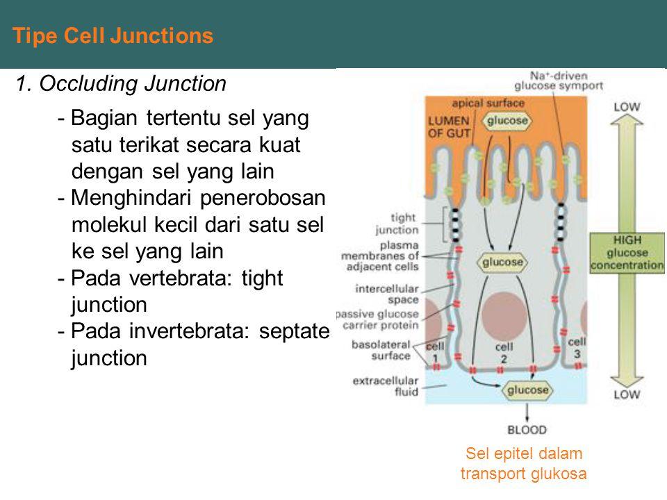 Tipe Cell Junctions 1. Occluding Junction - Bagian tertentu sel yang satu terikat secara kuat dengan sel yang lain - Menghindari penerobosan molekul k