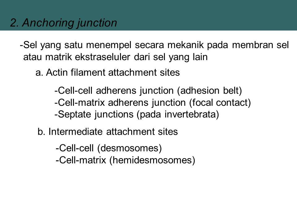 2. Anchoring junction -Sel yang satu menempel secara mekanik pada membran sel atau matrik ekstraseluler dari sel yang lain a. Actin filament attachmen