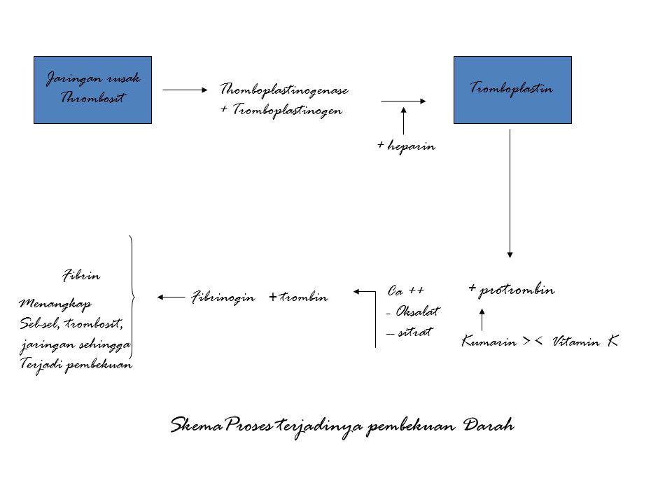 Jaringan rusak Thrombosit Thomboplastinogenase + Tromboplastinogen Tromboplastin + heparin + protrombin Kumarin > < Vitamin K Ca ++ - Oksalat -- sitra