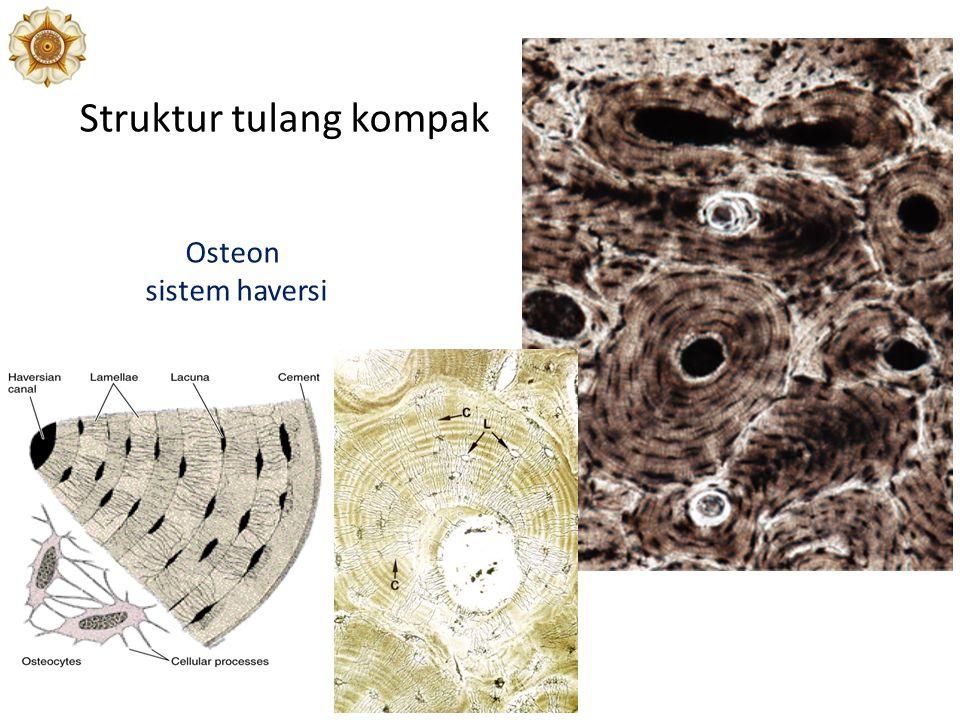 Osteon sistem haversi Struktur tulang kompak