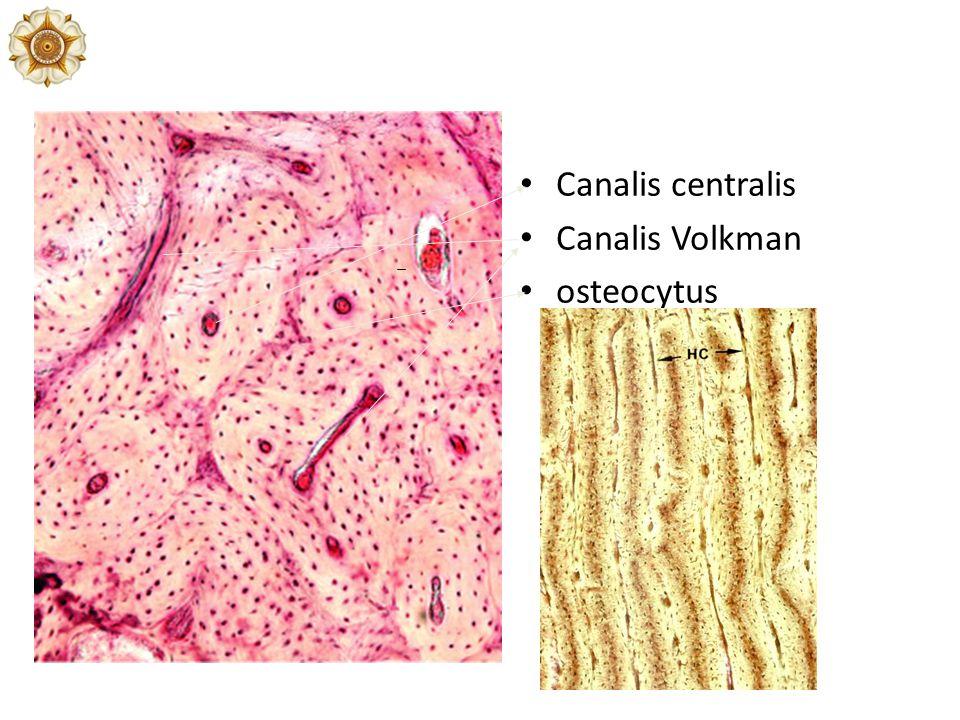 Canalis centralis Canalis Volkman osteocytus