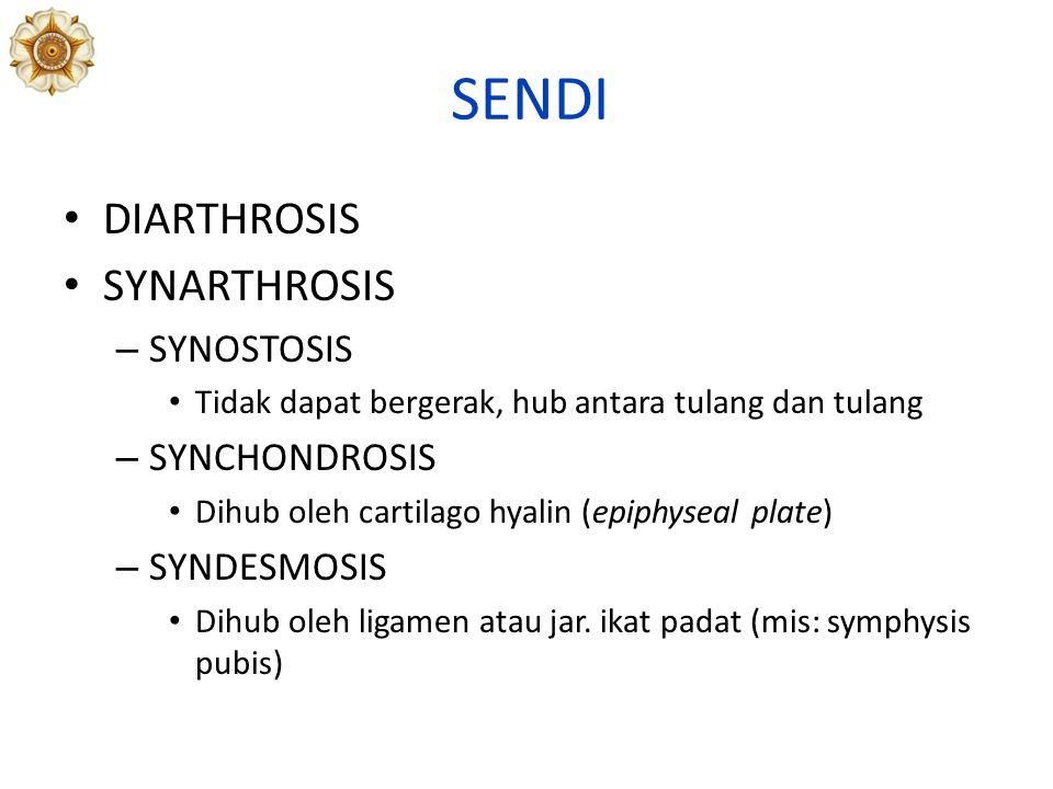 SENDI DIARTHROSIS SYNARTHROSIS – SYNOSTOSIS Tidak dapat bergerak, hub antara tulang dan tulang – SYNCHONDROSIS Dihub oleh cartilago hyalin (epiphyseal plate) – SYNDESMOSIS Dihub oleh ligamen atau jar.