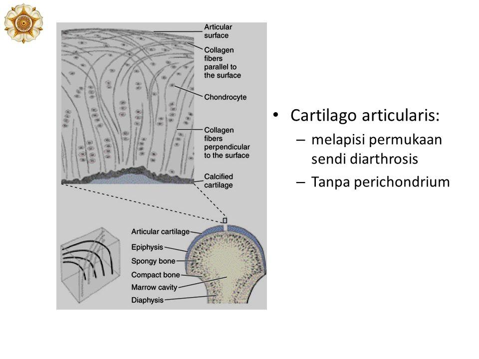 Cartilago articularis: – melapisi permukaan sendi diarthrosis – Tanpa perichondrium