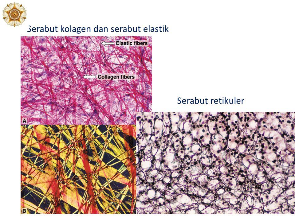 Serabut kolagen dan serabut elastik Serabut retikuler