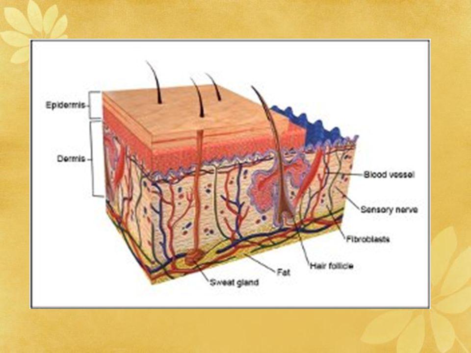Metabolisme kutanous Mekanisme transpor melalui membran kulit dengan cara difusi pasif Epidermis lapisan kulit yg paling aktif mengalami metabolisme & secara kimia mampu memodifikasi bermacam molekul yg berpermeasi Proses metabolisme dikatalisis oleh enzim yg terapat di kulit, meliputi reaksi: oksidasi, reduksi, hidrolisis & konyugasi