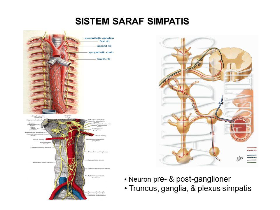 Neuron p re- & post-ganglioner Truncus, ganglia, & plexus simpatis SISTEM SARAF SIMPATIS