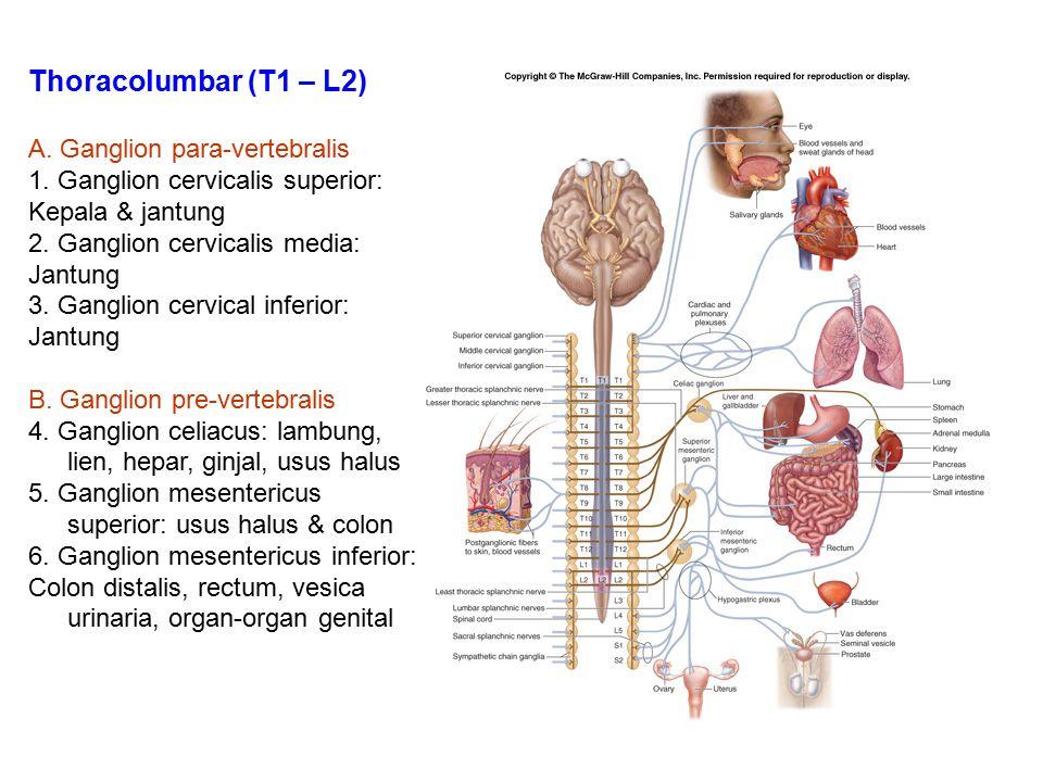 Thoracolumbar (T1 – L2) A. Ganglion para-vertebralis 1. Ganglion cervicalis superior: Kepala & jantung 2. Ganglion cervicalis media: Jantung 3. Gangli