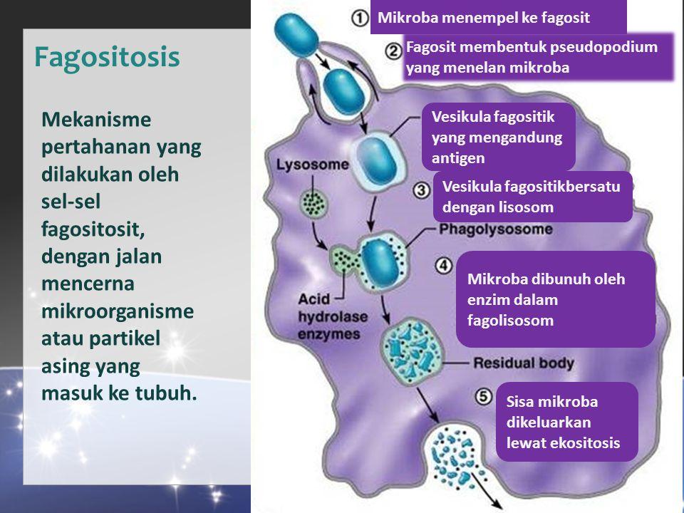 Fagositosis Mikroba menempel ke fagosit Fagosit membentuk pseudopodium yang menelan mikroba Sisa mikroba dikeluarkan lewat ekositosis Vesikula fagositikbersatu dengan lisosom Mikroba dibunuh oleh enzim dalam fagolisosom Vesikula fagositik yang mengandung antigen Mekanisme pertahanan yang dilakukan oleh sel-sel fagositosit, dengan jalan mencerna mikroorganisme atau partikel asing yang masuk ke tubuh.