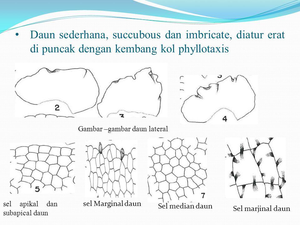 Daun sederhana, succubous dan imbricate, diatur erat di puncak dengan kembang kol phyllotaxis Gambar –gambar daun lateral sel apikal dan subapical daun sel Marginal daun Sel median daun Sel marjinal daun