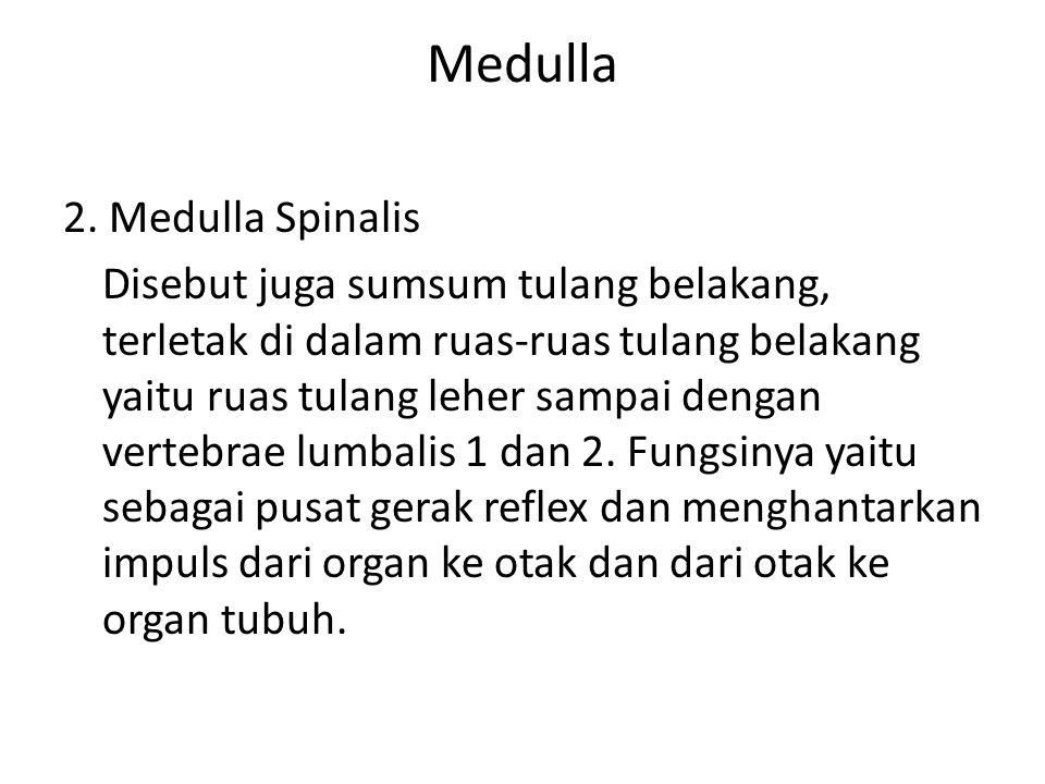 Medulla 2. Medulla Spinalis Disebut juga sumsum tulang belakang, terletak di dalam ruas-ruas tulang belakang yaitu ruas tulang leher sampai dengan ver