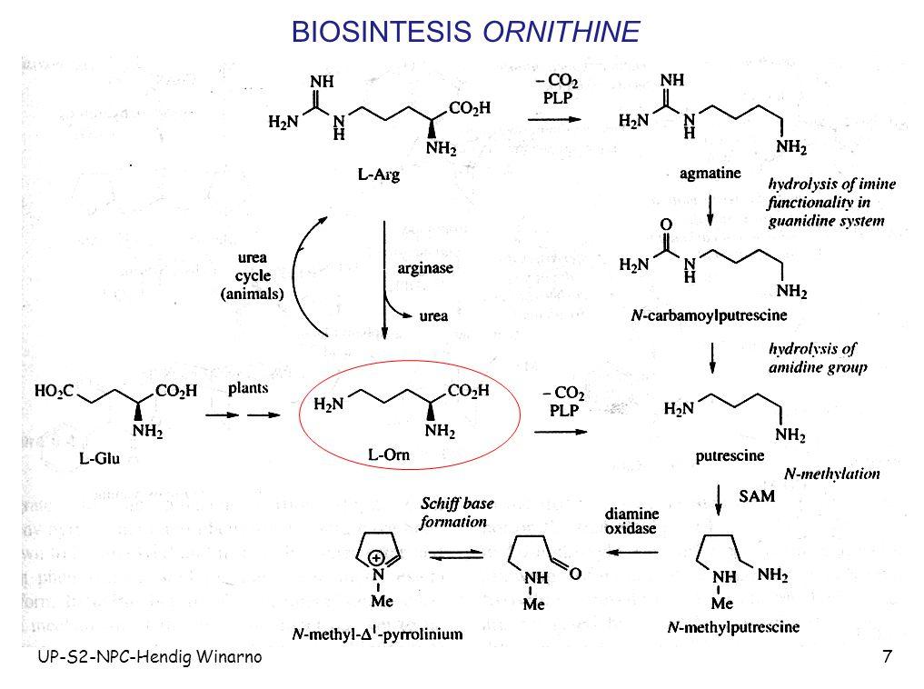 UP-S2-NPC-Hendig Winarno18 Klasifikasi alkaloid menurut Hegnauer 1.Alkaloid sejati (mengandung atom nitrogen pada cincin heterosiklik, diturunkan dari asam amino, mempunyai sifat toksik).