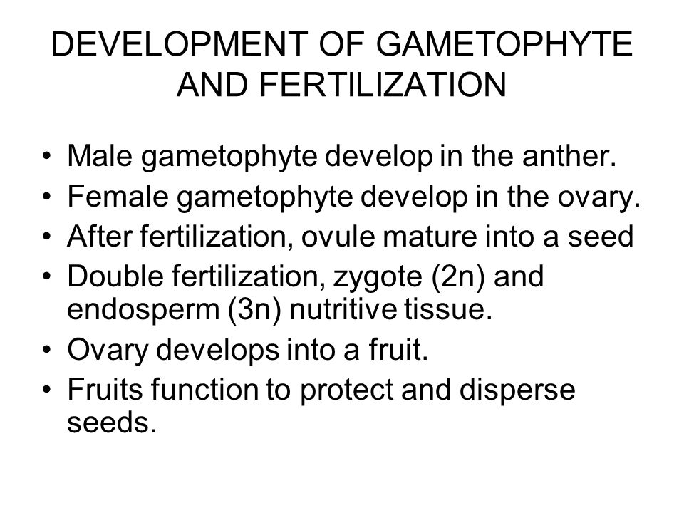 DEVELOPMENT OF GAMETOPHYTE AND FERTILIZATION Male gametophyte develop in the anther. Female gametophyte develop in the ovary. After fertilization, ovu