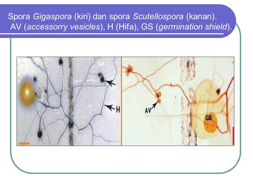 Spora Gigaspora (kiri) dan spora Scutellospora (kanan).