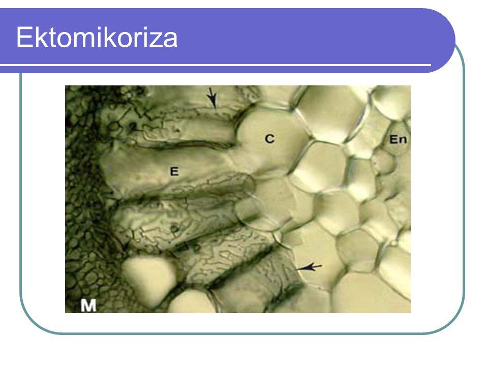 Logam yang diserap CMA disimpan dalam hifanya dan tidak diteruskan ke akar, namun belum diketahui fungsi logam tersebut bagi cendawan.