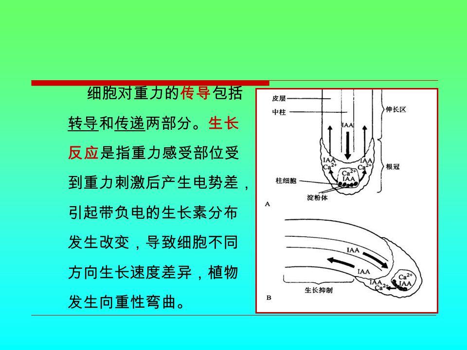 细胞对重力的传导包括 转导和传递两部分。生长 反应是指重力感受部位受 到重力刺激后产生电势差, 引起带负电的生长素分布 发生改变,导致细胞不同 方向生长速度差异,植物 发生向重性弯曲。