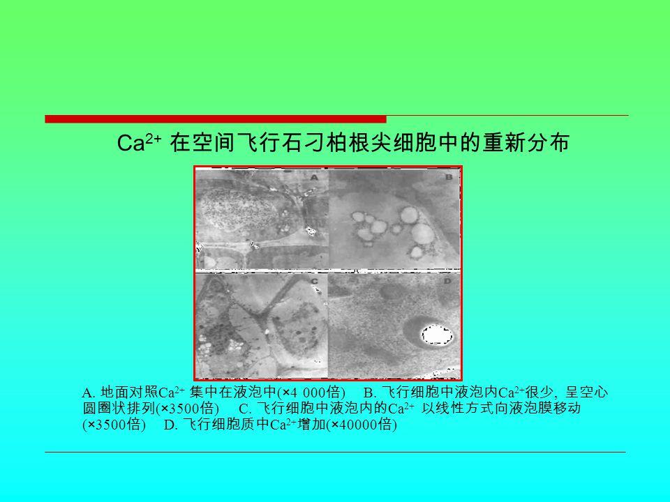 Ca 2+ 在空间飞行石刁柏根尖细胞中的重新分布 A. 地面对照 Ca 2+ 集中在液泡中 (×4 000 倍 ) B.