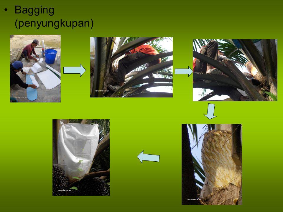 Penempatan dan Penyusunan Polybag Persiapan bedengan dengan lebar 120 cm dan panjang menyesuaikan dengan kondisi areal (10-15 m), jarak antar bedengan 70 cm Tanah bedengan ditinggikan 5 cm dengan mengikis tanah dari area antar bedengan, sehingga air tidak menggenangi bedengan saat hujan Dipasang papan lebar 10 cm atau bambu di sepanjang pinggir bedengan untuk menahan agar polibag tidak tumbang Polibag disusun secara rapat pada bedengan Dalam 1 bedeng, bisa diisi oleh 1200 s/d 1800 polibag