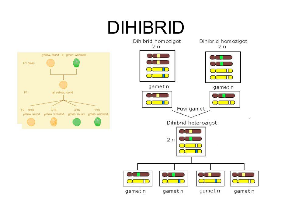 DIHIBRID