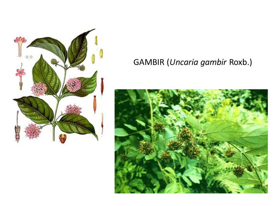 GAMBIR (Uncaria gambir Roxb.)