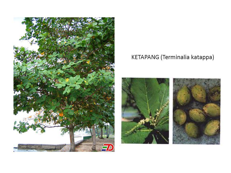 KETAPANG (Terminalia katappa)