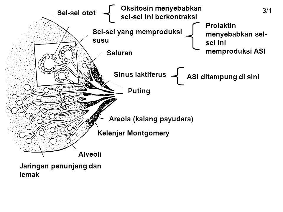 Sel-sel otot Oksitosin menyebabkan sel-sel ini berkontraksi Sel-sel yang memproduksi susu Prolaktin menyebabkan sel- sel ini memproduksi ASI Saluran Sinus laktiferus Puting Areola (kalang payudara) Kelenjar Montgomery Alveoli Jaringan penunjang dan lemak ASI ditampung di sini 3/1