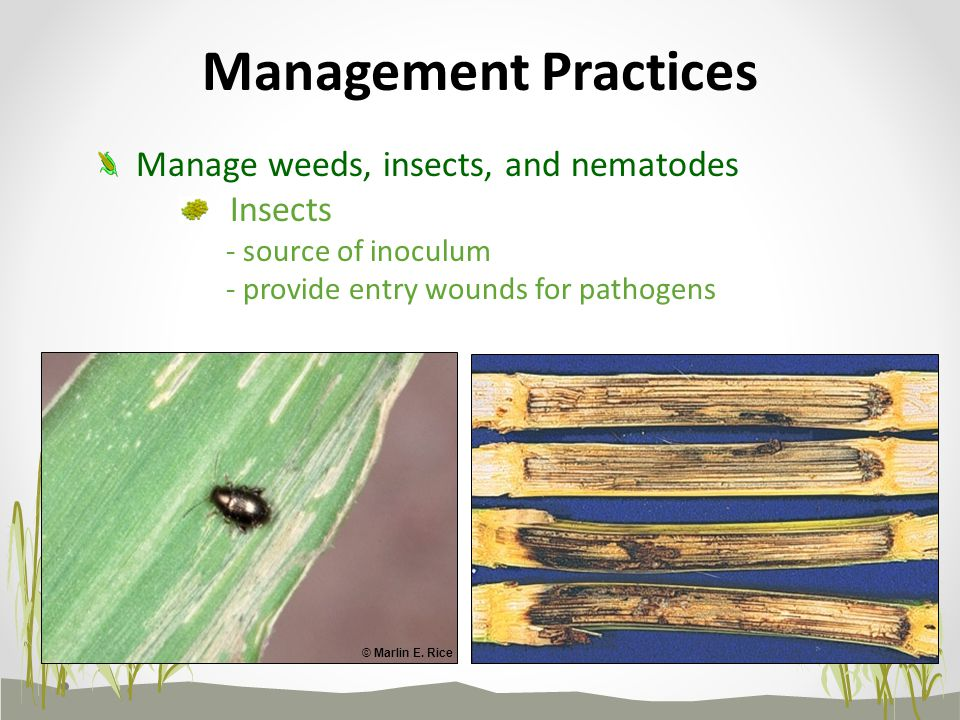 Insects - source of inoculum - provide entry wounds for pathogens Management Practices Manage weeds, insects, and nematodes © Marlin E.