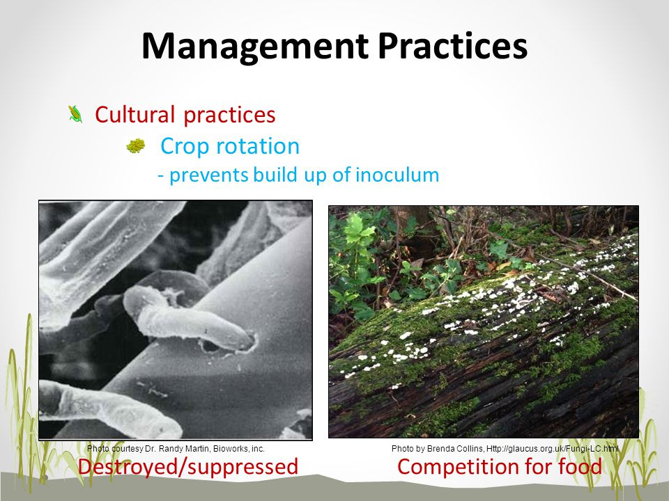 Crop rotation - prevents build up of inoculum Cultural practices Competition for foodDestroyed/suppressed Management Practices Photo by Brenda Collins, Http://glaucus.org.uk/Fungi-LC.htmlPhoto courtesy Dr.