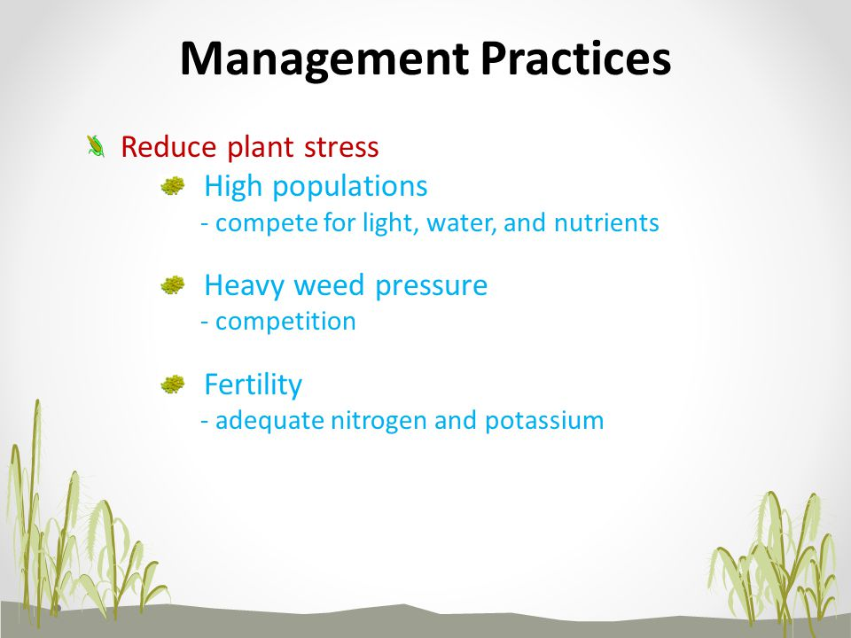 High populations - compete for light, water, and nutrients Heavy weed pressure - competition Fertility - adequate nitrogen and potassium Management Practices Reduce plant stress