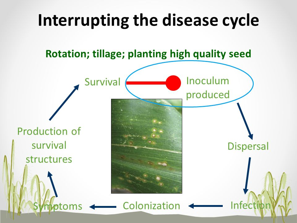 Survival Inoculum produced Dispersal Infection Colonization Symptoms Production of survival structures Rotation; tillage; planting high quality seed Interrupting the disease cycle