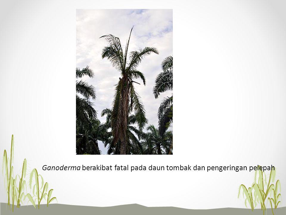 Ganoderma berakibat fatal pada daun tombak dan pengeringan pelepah