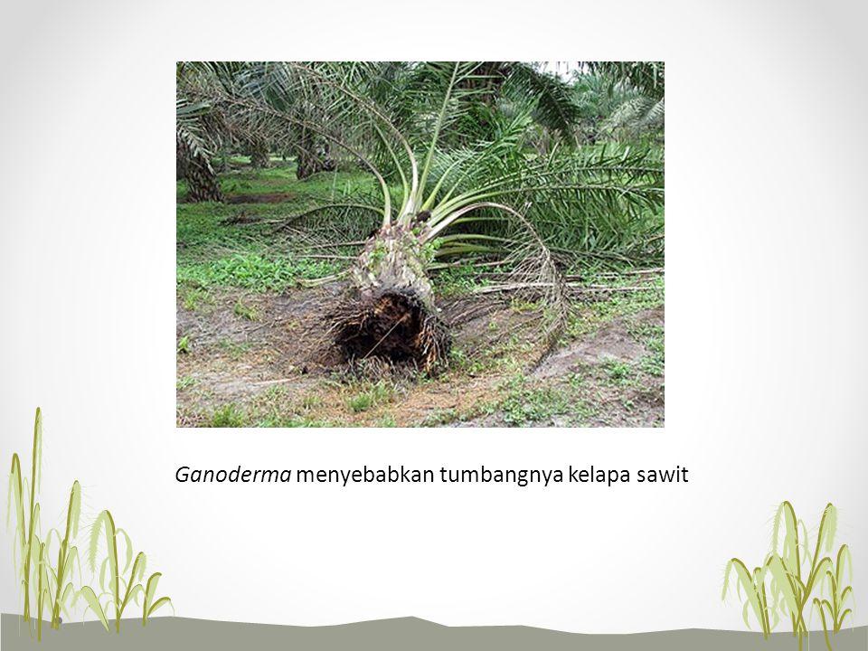 Ganoderma menyebabkan tumbangnya kelapa sawit