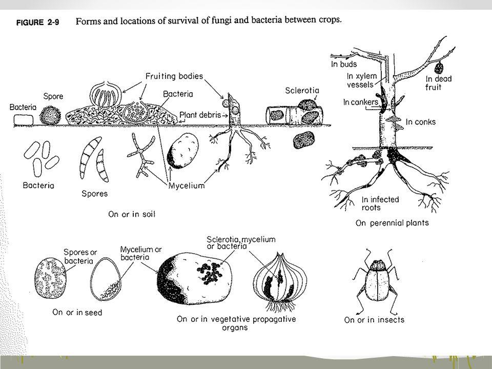 Tillage - decreases surface residue (foliar disease inoculum) - conservation tillage increases soil moisture Management Practices Cultural practices