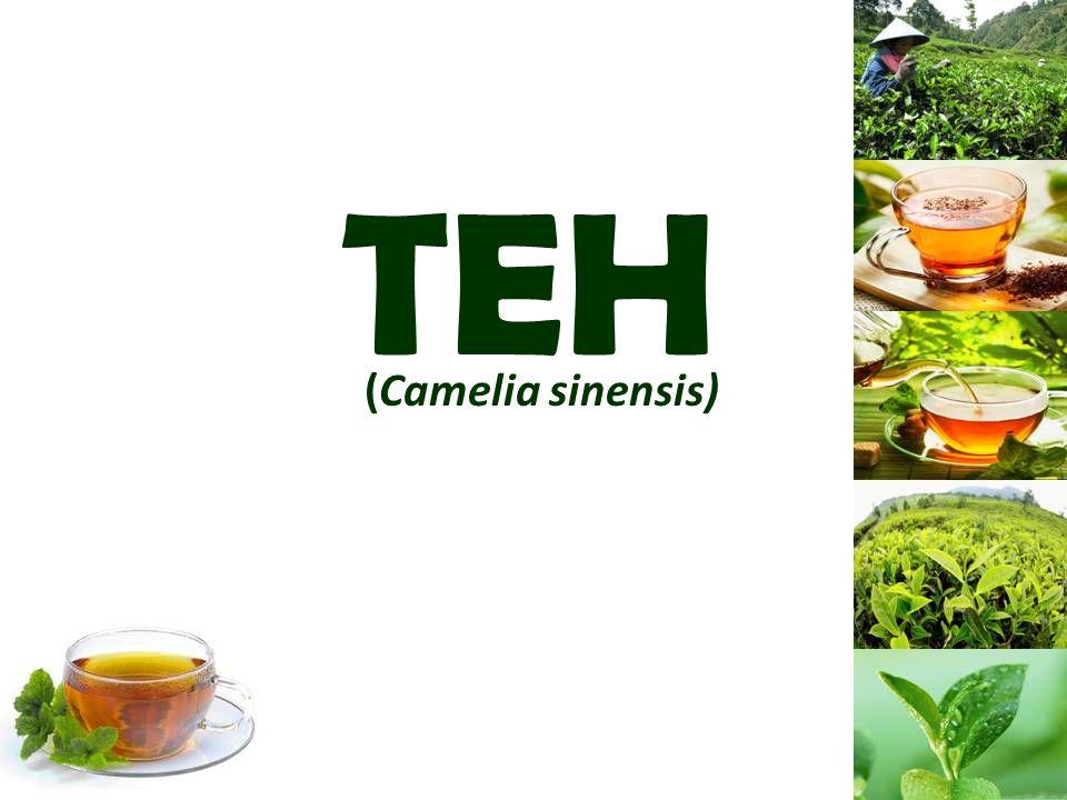 TEH (Camelia sinensis)