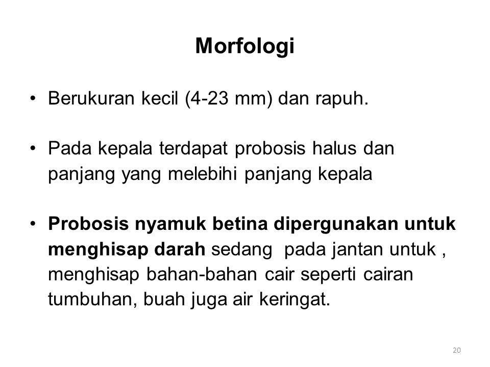 Morfologi Berukuran kecil (4-23 mm) dan rapuh. Pada kepala terdapat probosis halus dan panjang yang melebihi panjang kepala Probosis nyamuk betina dip