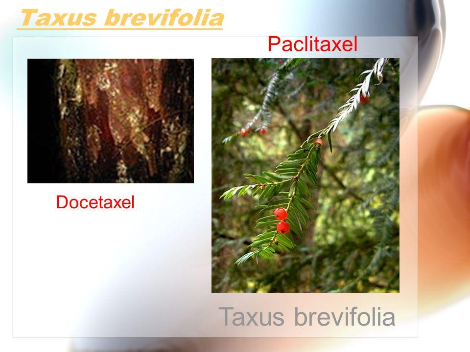 Taxus brevifolia Docetaxel Paclitaxel Taxus brevifolia