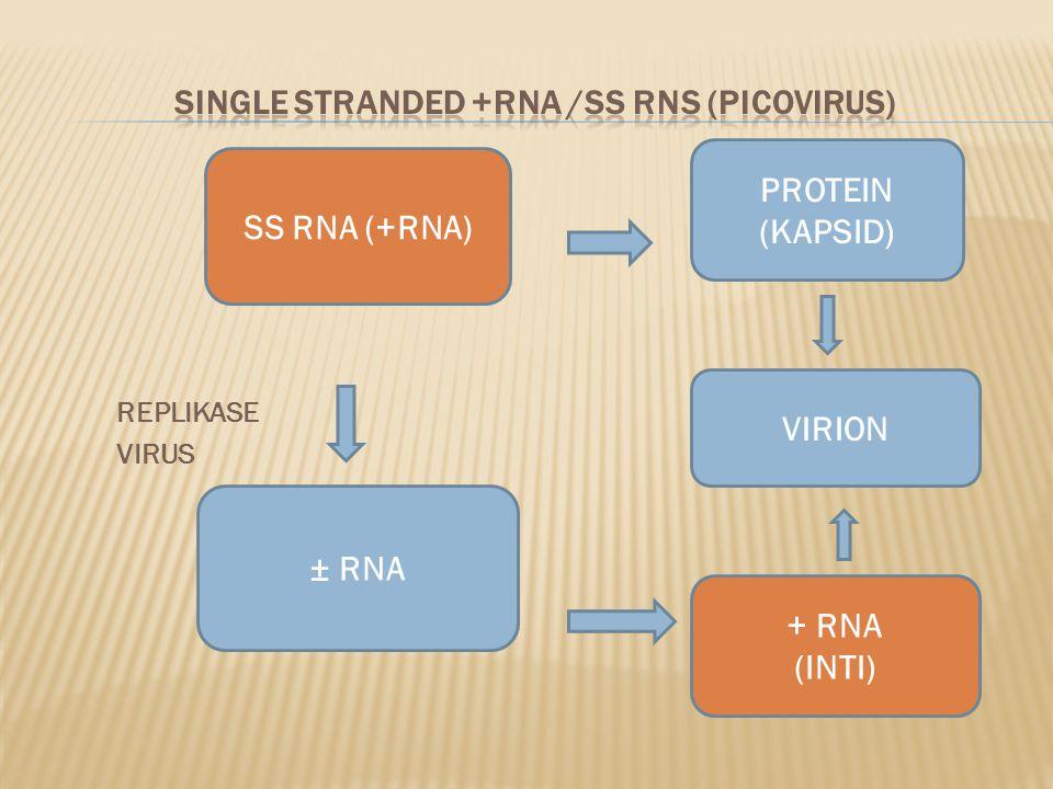 REPLIKASE VIRUS SS RNA (+RNA) PROTEIN (KAPSID) ± RNA + RNA (INTI) VIRION