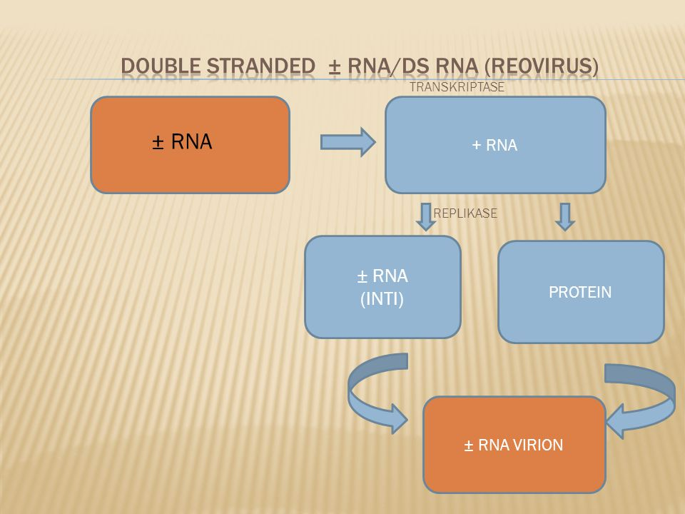 TRANSKRIPTASE REPLIKASE + RNA ± RNA (INTI) PROTEIN ± RNA VIRION ± RNA