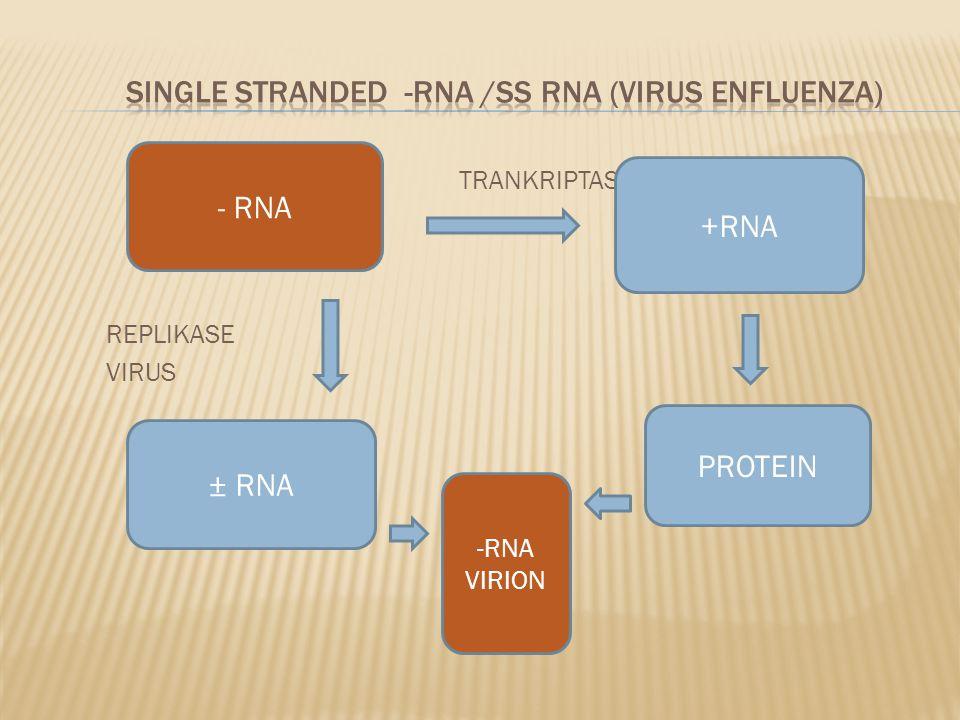 TRANKRIPTASE REPLIKASE VIRUS - RNA +RNA PROTEIN ± RNA -RNA VIRION