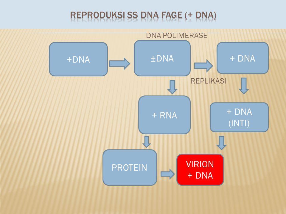 DNA POLIMERASE REPLIKASI +DNA ±DNA + DNA + RNA PROTEIN VIRION + DNA (INTI)