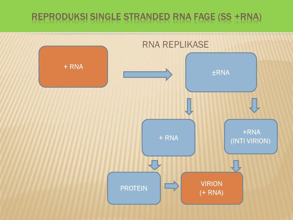 RNA REPLIKASE + RNA ±RNA +RNA (INTI VIRION) + RNA VIRION (+ RNA) PROTEIN