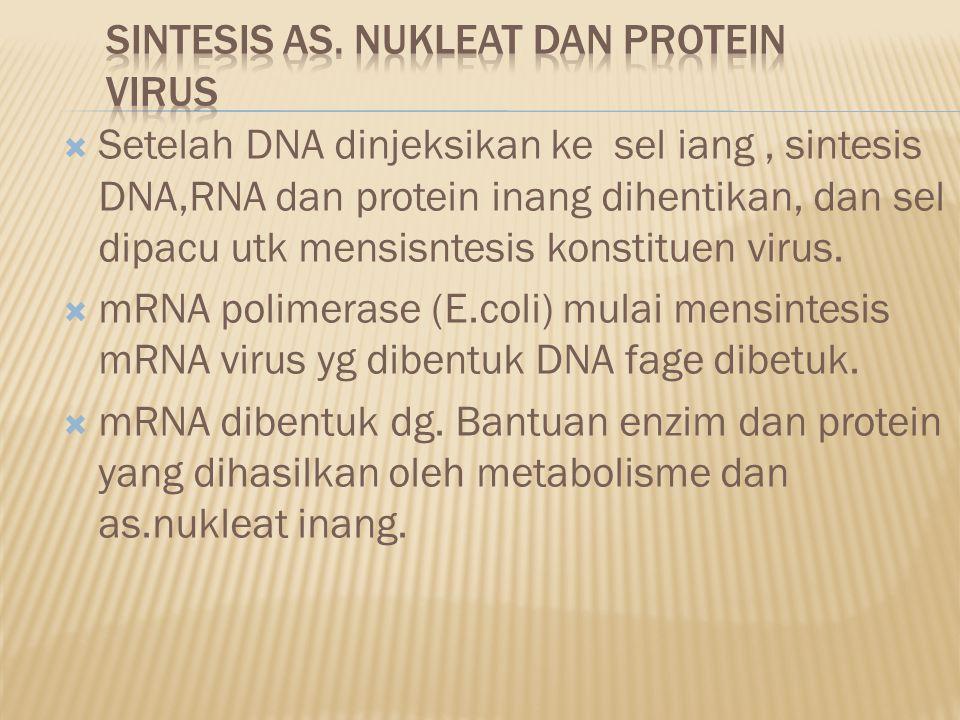  Setelah DNA dinjeksikan ke sel iang, sintesis DNA,RNA dan protein inang dihentikan, dan sel dipacu utk mensisntesis konstituen virus.  mRNA polimer