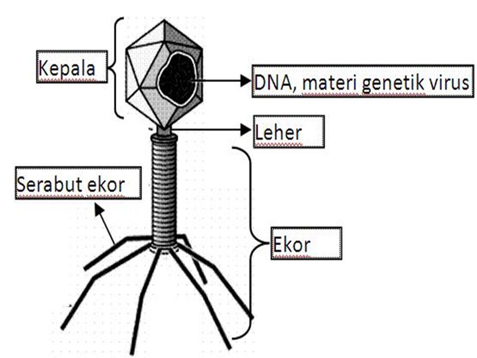 type V irus Lanjut IdsDNATranskripsi strand (-)mRNA(+) IIssDNA Sintesis pita lain → ds DNA mRNA(+) IIIdsRNA (± RNA)Transkripsi strand (-)mRNA (+) IVssRNA (+)Dipakai sbg.