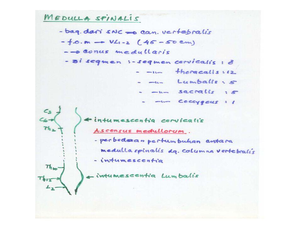 ASCENSUS MEDULLORUM Pengertian: Adalah suatu keadaan seakan-akan medulla spinalis tertarik ke cranial akibat terjadinya intumescentia cervicalis dan i