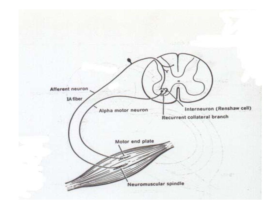 ARCUS REFLEX KOMPONEN: - reseptor - konduktor I ( ser.afferens) - sentrum - konduktor II (ser.efferens) - efektor Serabut-serabut bantu: - ser.associa
