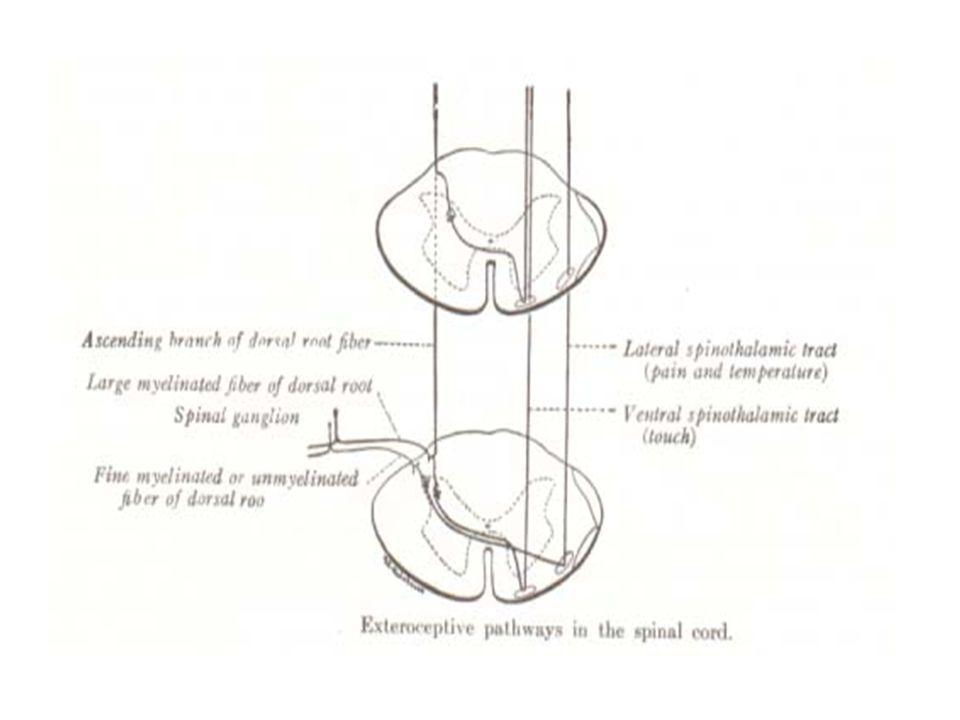 LINTASAN EXTEROCEPTIVE SPINALIS (1). SAKIT DAN TEMPERATUR NEURON I: Sel di ganglion spinale columna grisea posterior NEURON II: Sel di substantia gela