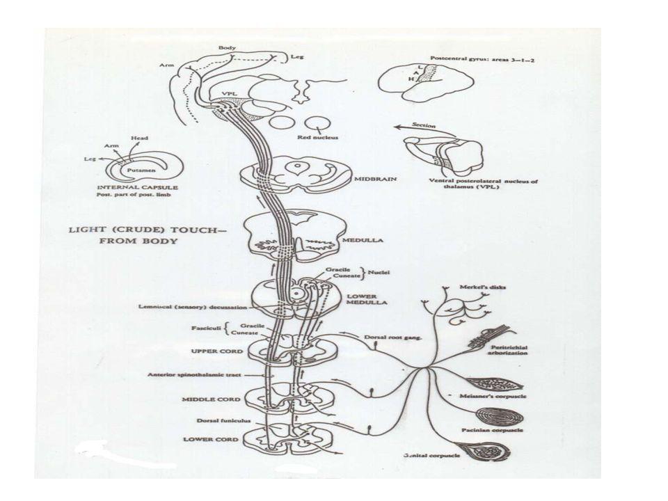 LINTASAN EXTEROCEPTIVE SPINALIS (2). RABA DAN TEKAN A. NEURON I: Sel di ganglion spinale columna grisea posterior NEURON II: Sel di columna grisea pos