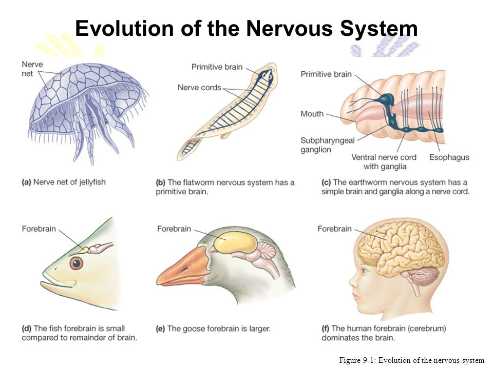 Evolution of the Nervous System Figure 9-1: Evolution of the nervous system