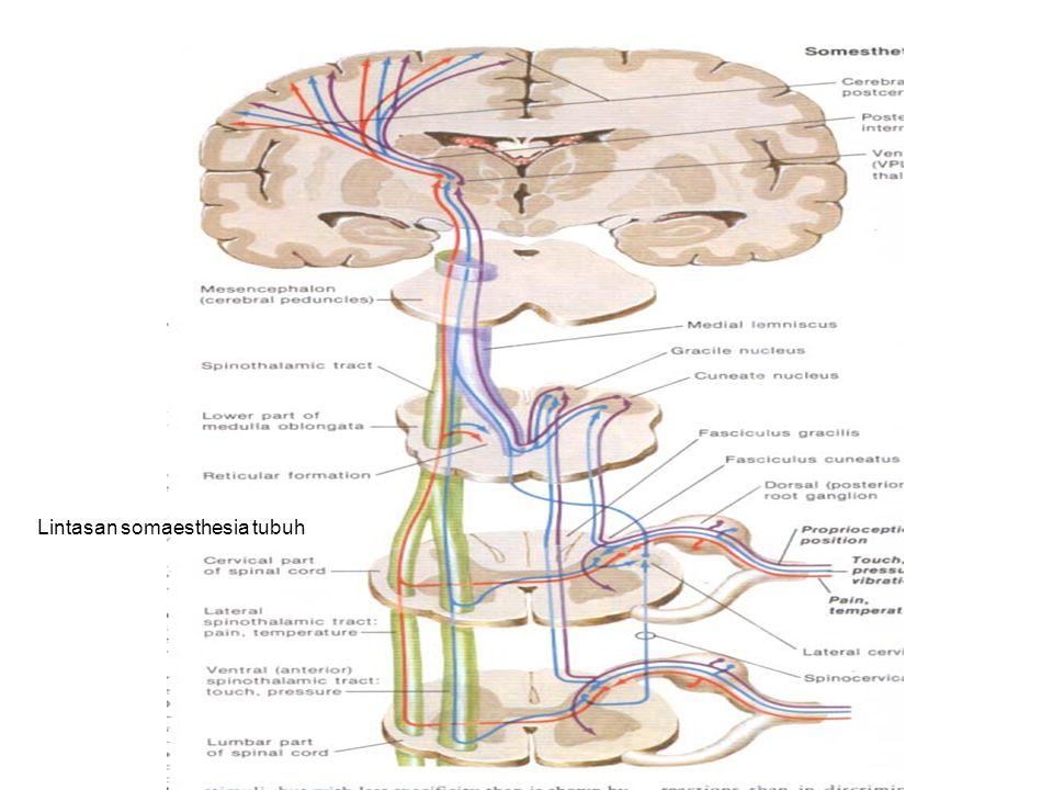 (3). LINTASAN PROPRIOCEPTIVE SPINALIS B. KE CORTEX CEREBELLI 1. LEWAT SER.ARCUATUS EXTERNUS DORSALIS NEURON I: Sel di ganglion spinale fun.posterior N